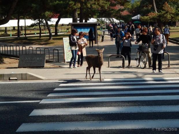 Nara Park, srna u propisnom prelasku ulice