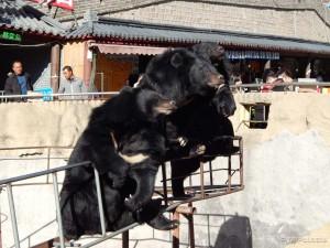 Medvjedi u Badalingu