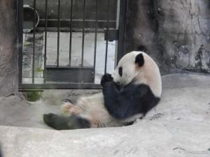Beijing Zoo, mister Panda u trenucima odmora