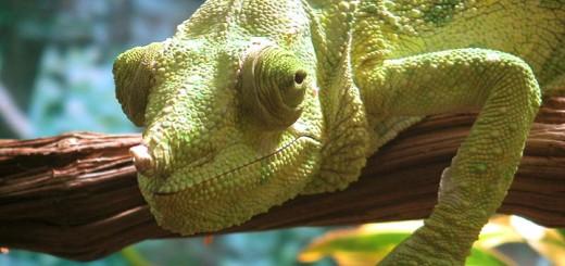 chameleon-720