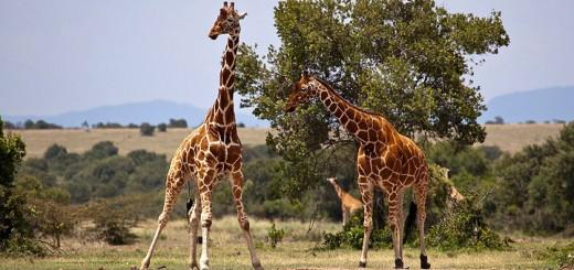 Giraffe-720
