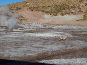 Južnoamerička siva lisica lokalnog imena chilla