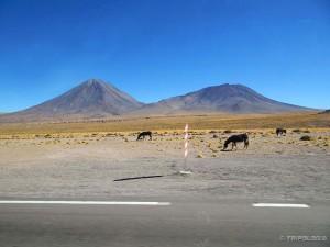 Magarci podno vulkana Licancabur