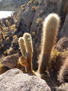 1.000 godina stari kaktusi u cvatu