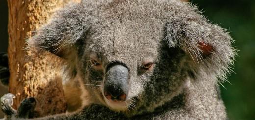 Koala-720